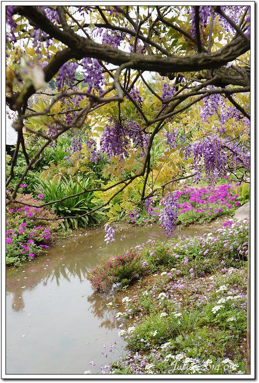 紫藤、老梅 (3)
