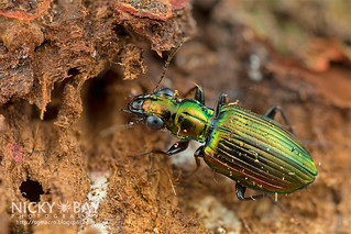 Ground Beetle (Carabidae) - DSC_7273