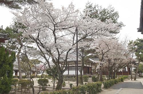 【写真】2014 桜 : 知恩寺/2020-11-13/IMGP5723
