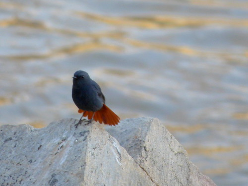 Plumbeous Water Redstart (displaying male) in the Swat Valley, Khyber Pakhtunkhwa Province, Pakistan - March 2014