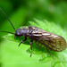 Small photo of Alder fly. Sialis lutaria