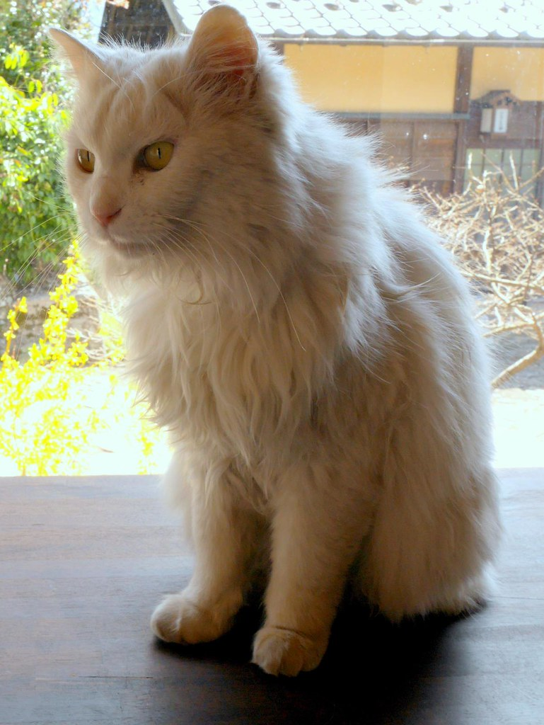Beautiful stray cat found in the rest house at Magome   Flickr
