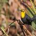 Yellow-headed blackbird Imm