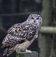 hawk(0.0), animal(1.0), bird of prey(1.0), falcon(1.0), owl(1.0), wing(1.0), fauna(1.0), buzzard(1.0), beak(1.0), great grey owl(1.0), bird(1.0), wildlife(1.0),