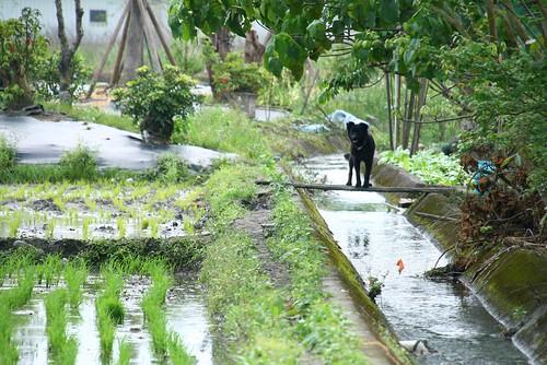 以耕種為目的,以稻子為主角,農村的空間設計,是以糧食生產為核心而創造的自然與人文的互動結果。水圳,是為了灌溉田地,田埂,是為了方便農民,而狗最悠閒,牠只需要來玩玩遊戲。圖片提供:李慧宜