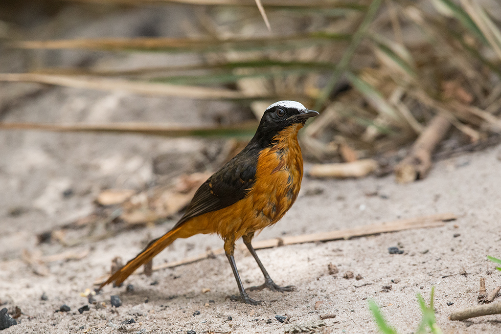 White-crowned Robin-chat  Gambia