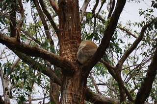 Another koala curled up asleep