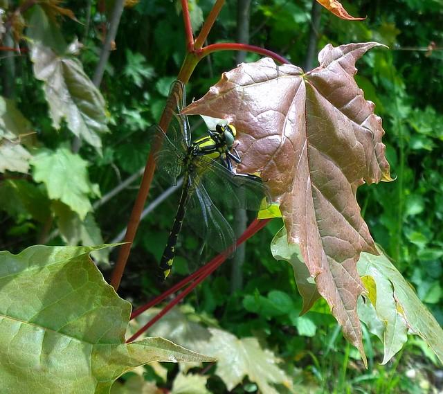 Klínatka obecná (Gomphus vulgatissimus)