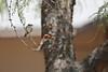 Vermilion Flycatcher Couple