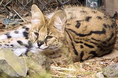 Leptailurus serval DT [NZ Auckland Zoo] (3)