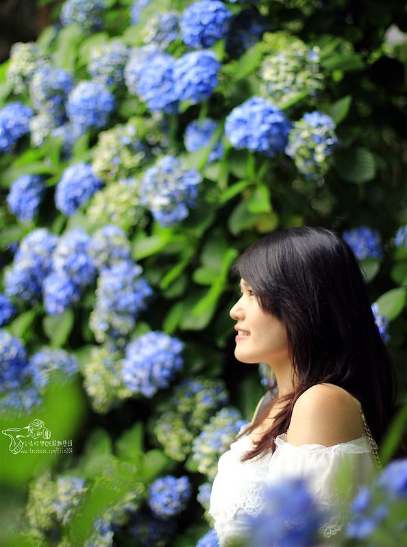 繡球花 (23)