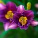 Purple Ruffles by wnkremer1