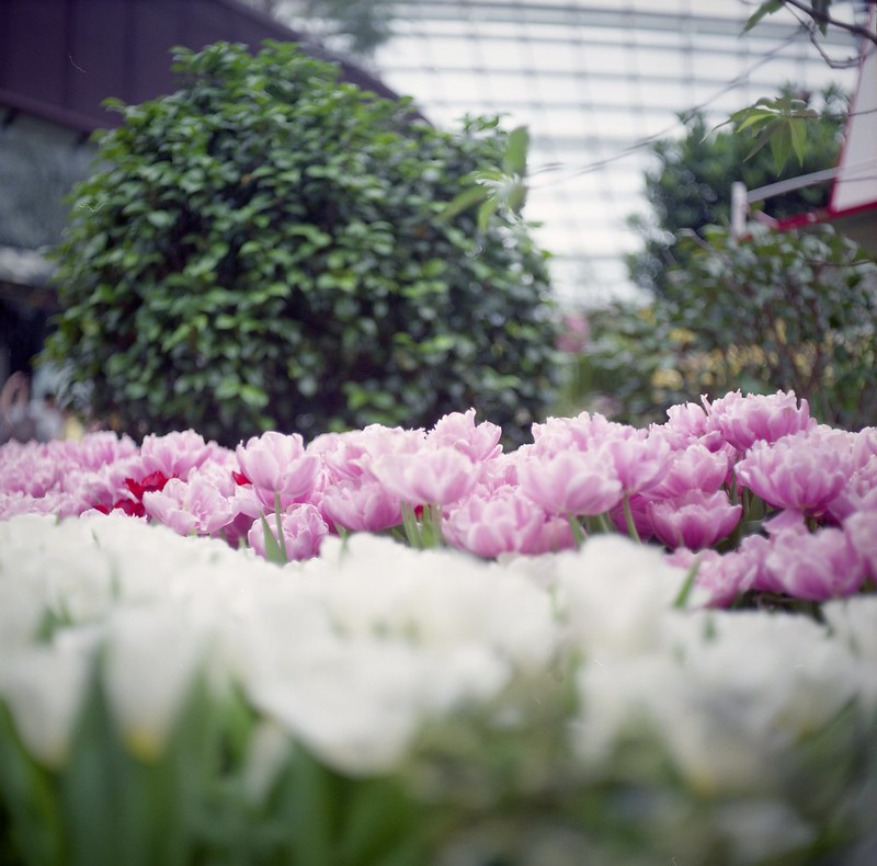 Flowers @ Tulipmania