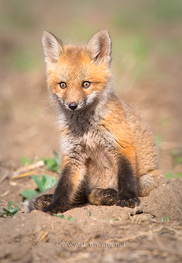 Red Fox Kit - Vigilant