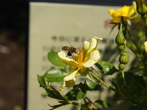 ミツバチとバラ by leicadaisuki