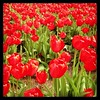 Tulips in Copley Square