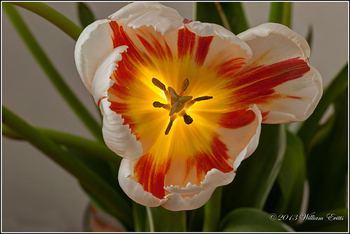 lighting colour detail macro nature spectacular awesome blossoms tulip effect experimenting awesomeblossoms textureeffectexperiment