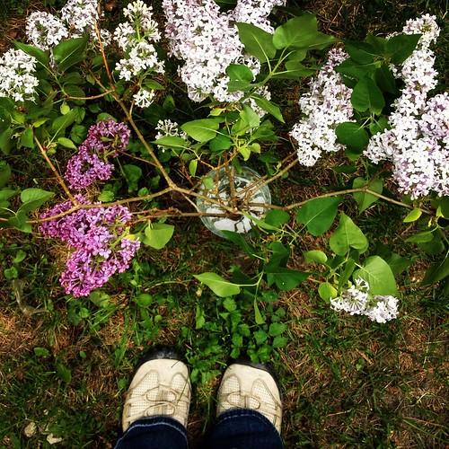 Same shot, three angles: the lilacs