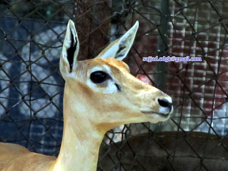 Karachi zoo Photo By Sajjad.cdgk (1)