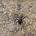 Karoo Balbyter Ants - Photo (c) bathyporeia, some rights reserved (CC BY-NC-ND)