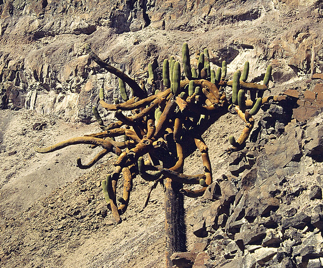 Browningia candelaris, the Candelabro Cactus.