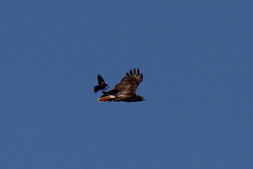 IMG_0226_Red_Wing_Blackbirds_Chasing_Red_Tail_Hawk