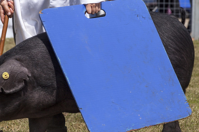 Blue pig board