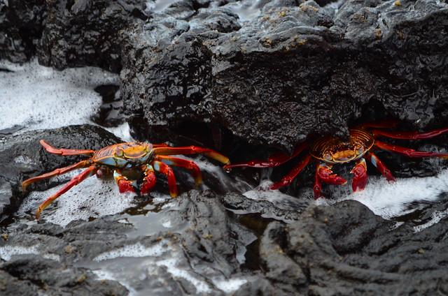 Zapayas en la costa de las islas Galápagos