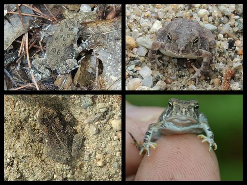 tiny toad 1
