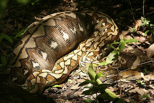 ular python indonesia