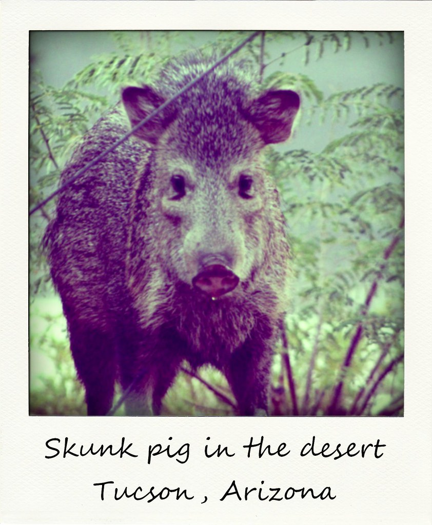 polaroid of the week arizona tucson peccary javelina