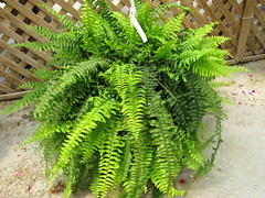 leaf, ostrich fern, ferns and horsetails,