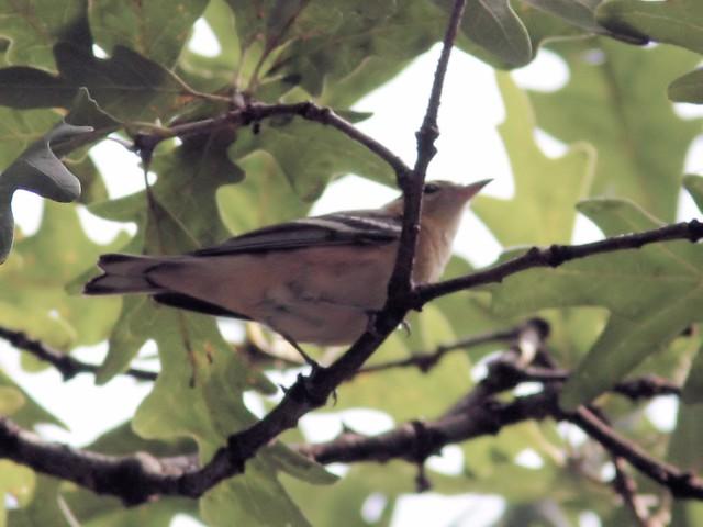 Bay-breasted Warbler 20130911