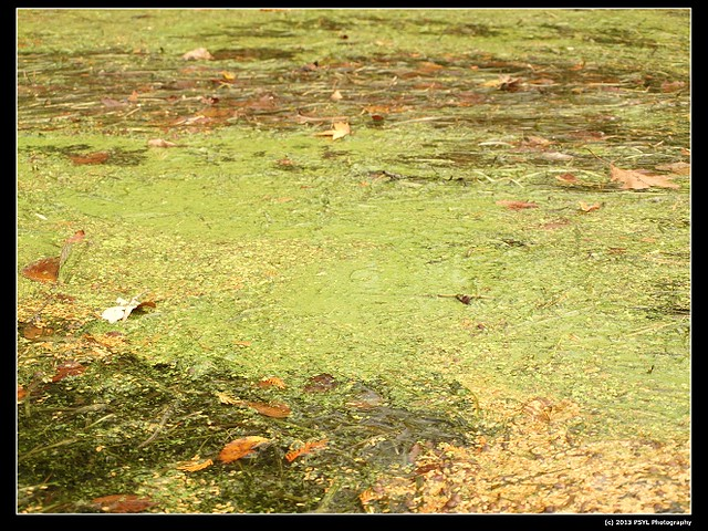 PA050136-Blue-Green Algae (Cyanobacteria)