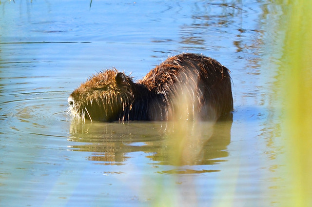 Coypu, Ornithological Park, Saintes Maries de la Mer, Camargue, France