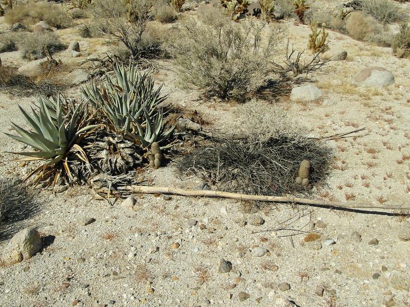 Mammillaria dioica in the desert 10466213006_85f7b4f4e8_c