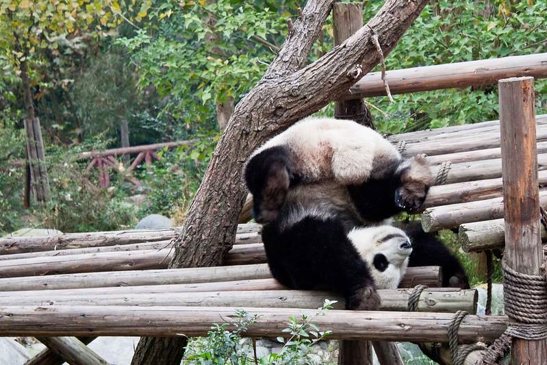 Oso panda haciendo el pino en la reserva de Chengdu