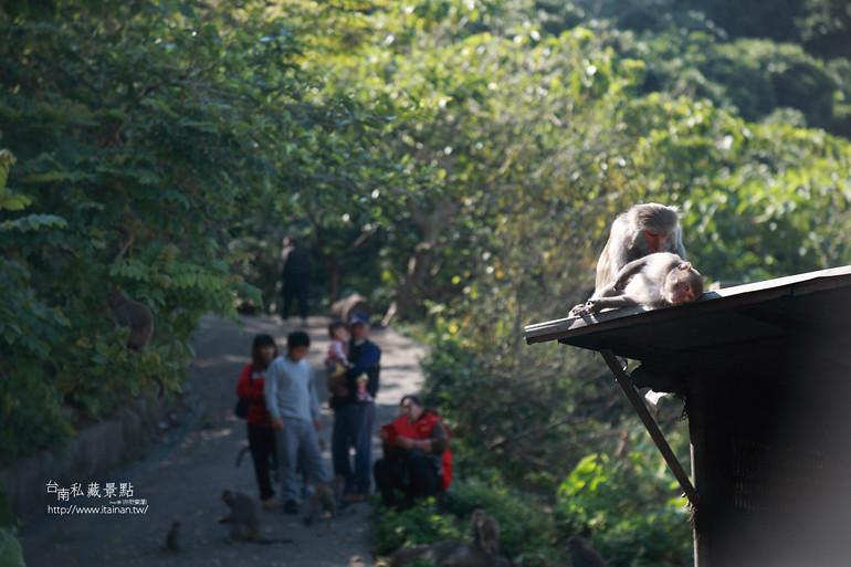 台南私藏景點-南化烏山獼猴 (30)