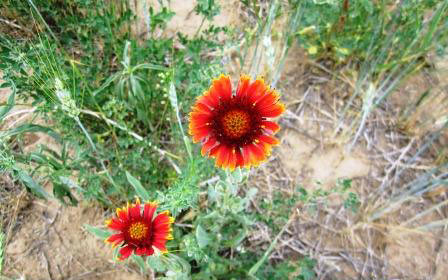 Blanket flowers are one of flowers seeded on the Drake ranch.