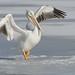 Pelican Dance_42628.jpg