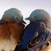 Eastern bluebird male & female by Mike J Conley