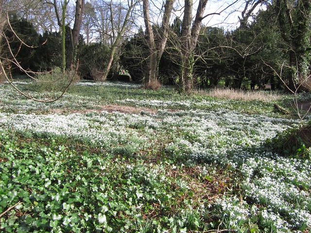snowdrop walk Walsingham Feb 2014 (1)