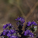 Small photo of Heliotrope
