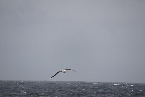 050 Albatros