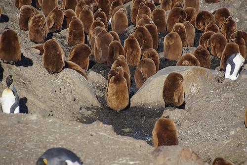 467a Koningspinguins