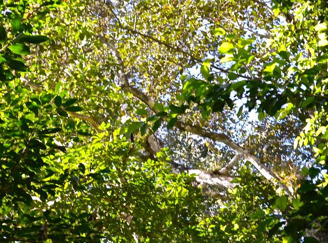 Spider Monkey Tikal Guatemala