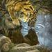 Amur Tger - Highland Wildlife Park by Kenneth Mands