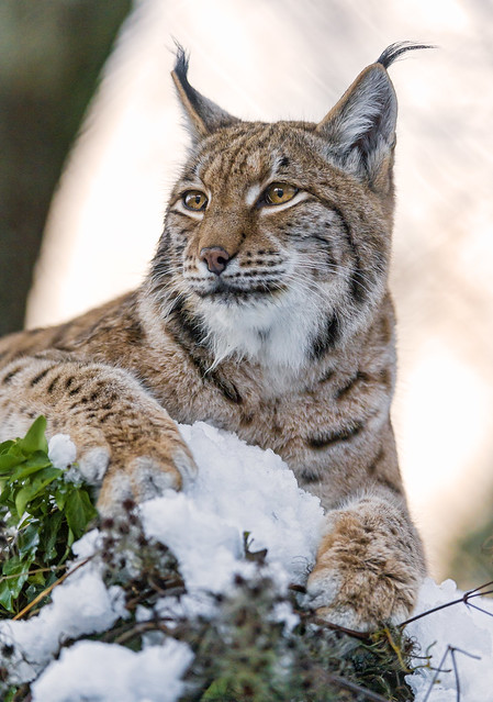 Female lynx posing on the top