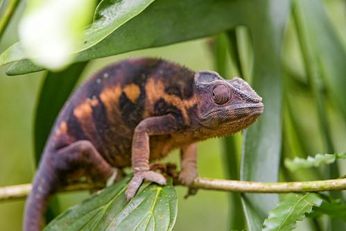 Dark chameleon