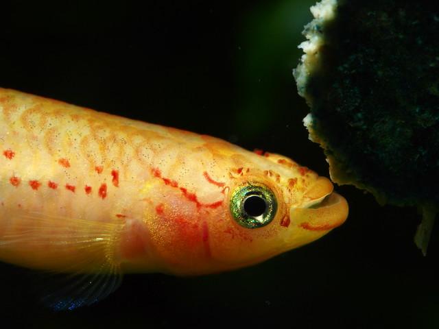 P4151005 黃金火焰鱂(母)